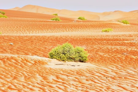 A view of a green bushes on sand dunes of the Arabian desert photo