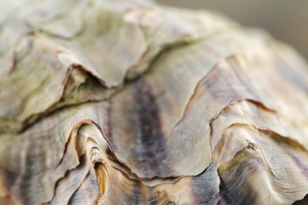 A close up macro shot of an oyster shell photo