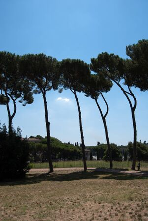 Beautiful pine trees from Rome, Italy. With a beautiful blue sky on a summer day