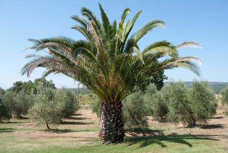 Tropical palm tree in vineyards on a summer day. Exotic and nature landscape