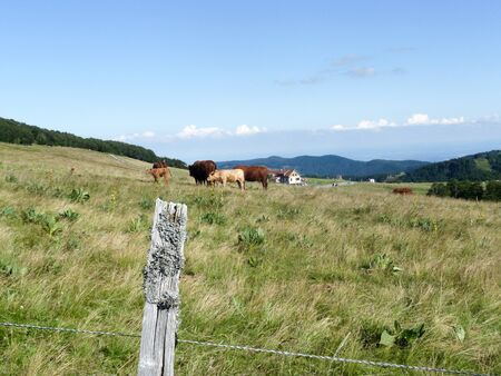 Landscape view from the Ballon d? Alsace, Grand Balloon, a summit / peak in the Vosges mountains, Haut-Rhin in France. With cows in a meadow.