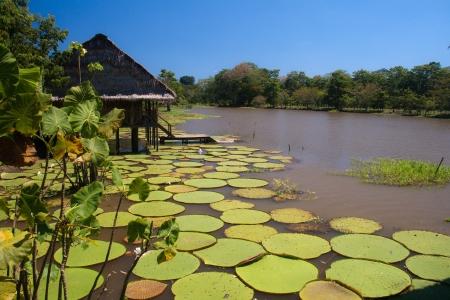 río amazonas: Lirios gigantes, lo suficientemente fuerte como para sostener un adulto, en el Amazonas, Colombia