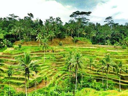 padi: Terraced padi fields in Bali Stock Photo