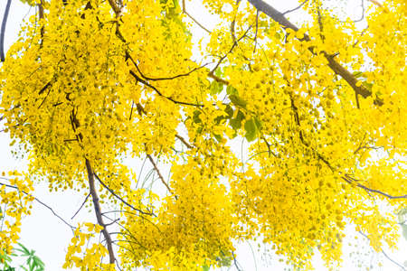 Flowering Trees of Thailand – Golden Shower Tree (Cassia fistula ). The golden shower tree is one of the most popular decorative trees in Thailand due to its massive hanging flower clusters.