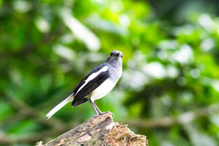 robin: Magpie Robin Bird Stock Photo