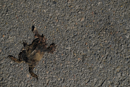 a corspe of a toad, dried out in the sun after being crushed by a car