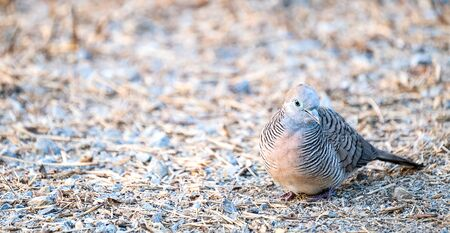 Zebra dove, a small greyish blue feather with black striae commonly found in asia, standing on the gravel covered ground, looking for insects in the early morning sun