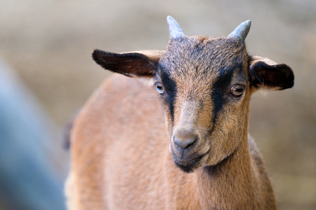 a young brown domestic short hair male goat with small horns standing on a solid ground, looking at the camera