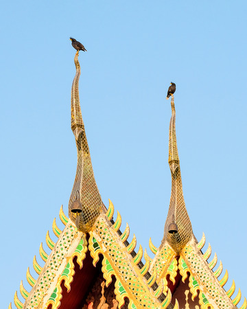 Two white-vented mynas, Acridotheres grandis, perching on the gable apex of a temple, clear blue sky background