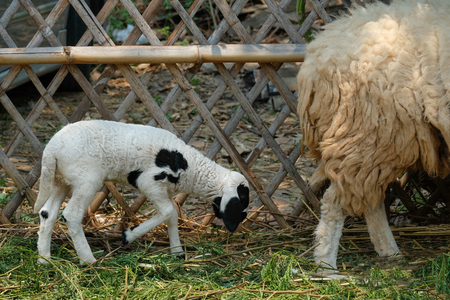 a black and white litter baby lamb walking behind its mother Standard-Bild