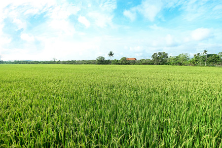 a vast paddy field filled with yellow and green tender young rice crop, partially cloudy blue sky