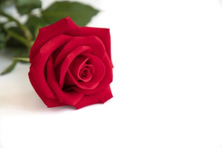 Closeup of a beautiful blooming red rose on white background. Valentines,  anniversary, wedding concept.