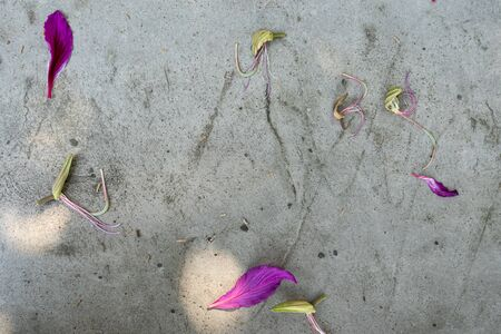 Violet Pedals and pale pilk stamen stalks of the flowers of orchid tree or Bauhinia purpure on grey concrete wall.     写真素材