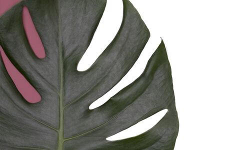 Closeup of monstera leaf on white and raspberry pink background