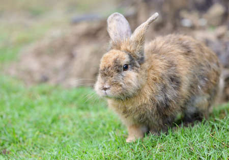 Small adorable fluffy brown rabbit with brown eyes lying on the green grass.