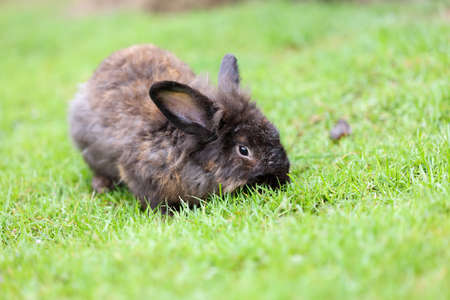 Small dark brown rabbit lying on the grass.