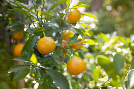 Tangerines on tree branch with sun brightness on sides among green leaves.