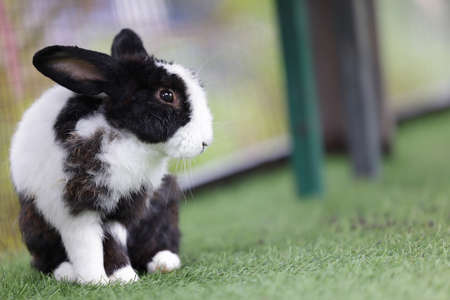Small adorable black and white young rabbit sitting outdoor on the grass.