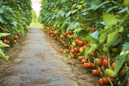 kassen: Rijpe tomaten in een kas - groen steegje Stockfoto