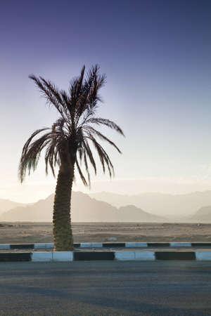 Palm Tree and Sinai Mountains Behind, Egypt Stock Photo - 12658530