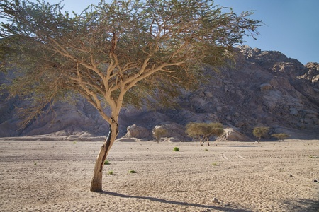 Acacia Trees, Mountains and Desert photo