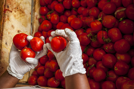 Woman worker selecting box of tomatoes