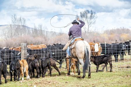 vaquero: Cowboys captura de terneros reci�n nacidos antes de la marca de ellos en una granja Foto de archivo