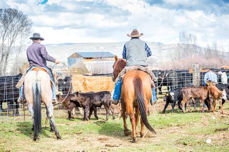 vaquero: Cowboys captura de terneros recién nacidos antes de la marca de ellos en una granja Foto de archivo
