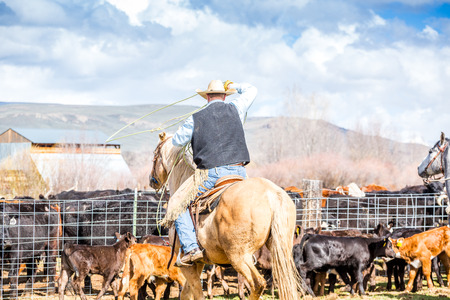 branded: Cowboys catching newly born calves before branding them on a farm