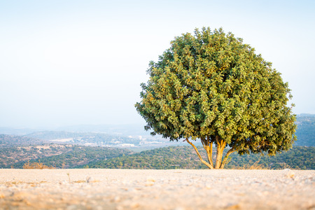 david and goliath: Tree on Mount Azeka, Judean Mountains, Israel