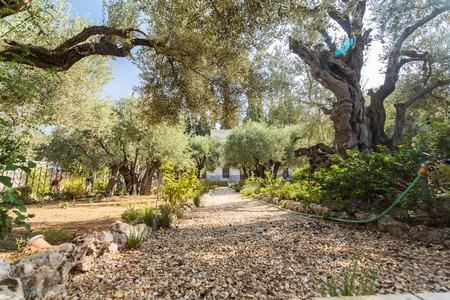 yielding: Garden of Gethsemane, Mount of Olives, Jerusalem, Israel Stock Photo