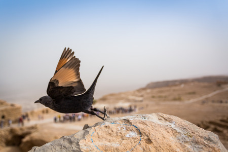 bird of israel: Beautiful Tristrams Starling in Masada, Israel, Middle East