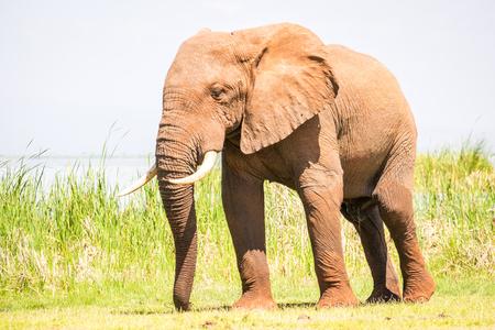 Elephant over Jipe Lake, Tsavo West National Park, Kenya Фото со стока