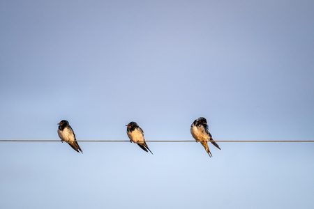 Three white tailed swallows, Tsavo West National Park, Kenya, Africa