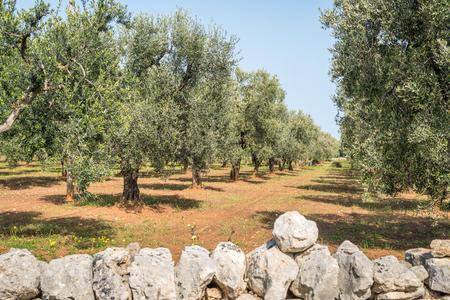 Grote, oude olijfboomgaard naast Ostuni, Italië Stockfoto