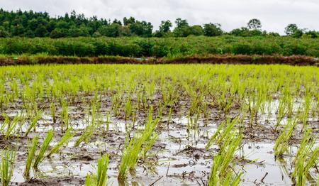 champ de maïs: fond champ de maïs