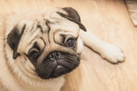 Close-up face of Cute pug puppy dog sleeping. It is hoped the boss will come back soon
