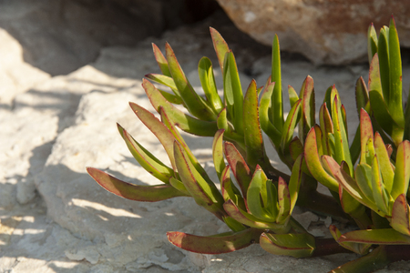 Plants with fleshy leaves surviving drought conditions on rocky soils Shot macro
