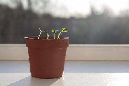 sprouted sprouts in a pot on the windowsill