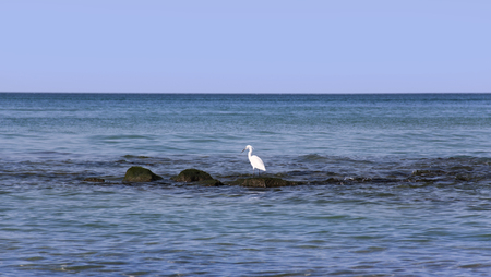 White Heron hunts fish in the middle of the sea on the stones
