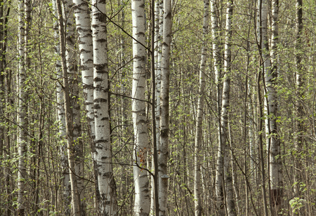 young birches in the grove in spring