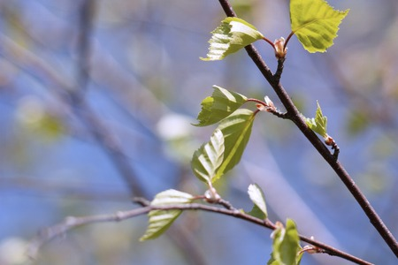 the twigs of birch trees with young foliage in spring as background