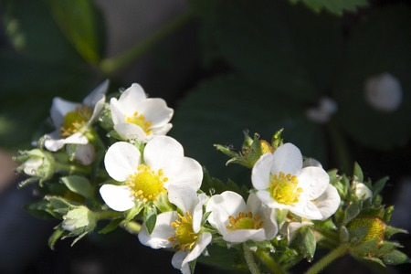 Strawberry flowers with dew drops closeup as background