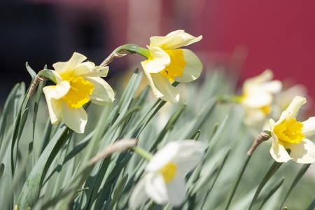 flowers of daffodils in the wind as a background