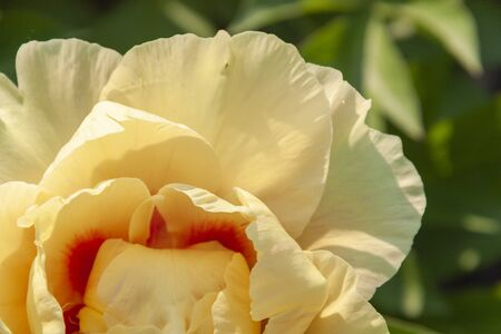 The yellow flower peony as the background