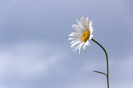 chamomile flower on the sky background close-up 스톡 콘텐츠