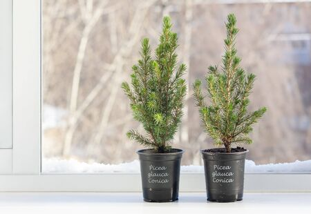 Small Christmas trees in pots for seedlings stand on the windowsill near an open window