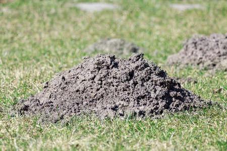 Moles dug up molehill damaging the lawn