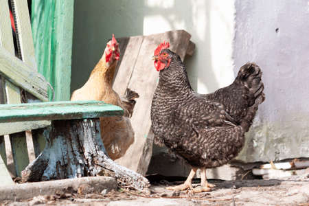 Two funny adult hens walk around the village yard