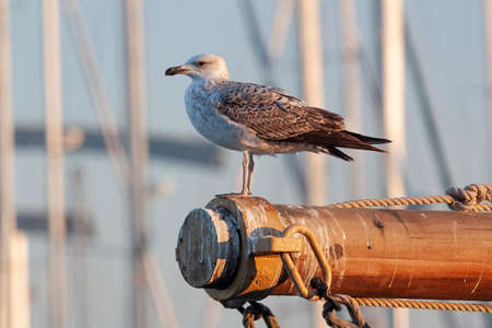 Close-up of a seagull sitting on the mast of a sailboat Zdjęcie Seryjne